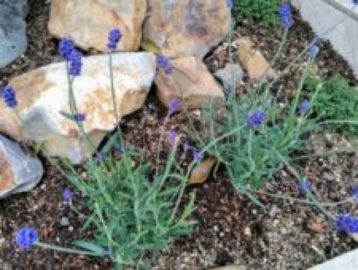 半田展示場にも新しいお花を植えました♪